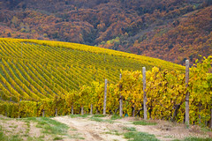 Le Langhe (beppeverge) Tags: barolo beppeverge colline dolcetto grapes italy landscape langhe moscato paesaggio roero uva vigna vigneti vineyard vino vitigni wine mango piemonte italia it