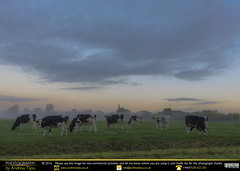 Clouds & Cows (andrewtijou) Tags: andrewtijou nikond7200 europe netherlands southholland dutch delft sunrise cows cattle mist morningmist