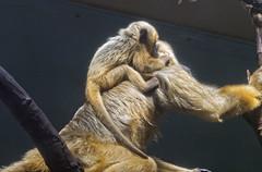 Cleveland Metroparks Zoo 06-05-2014 - Black Howler Monkey 9 (David441491) Tags: clevelandmetroparkszoo blackhowlermonkey monkey baby