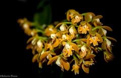 Floracin de una hermosa Orqudea (Epidendrum sp.) en la Mixteca oaxaquea. (BetzaoRFD) Tags: colores epfitas exotica huayapam laencantada orquideas robertofloresdiego