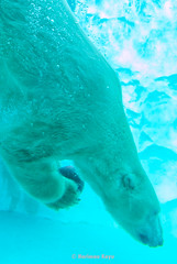 (Harimau Kayu (AKA Sumatra-Tiger)) Tags: dea goddess zoosafaridifasano italy uenozoologicalgardens ueno zoo ursusmaritimus  eisbr polarbr osopolar osoblanco loursblanc ourspolaire lorsopolare orsobianco        mygearandme polarbear