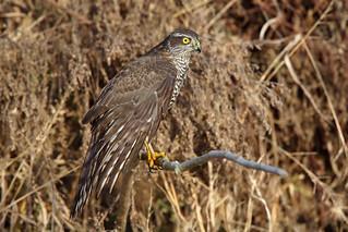 Eurasian sparrowhawk c