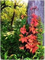 (Ruth Nicholas) Tags: fallleaves reddishorange stunningcontrast greenfoliage naturesdesign patterns trees treetrunk nature outdoors vibrant richcolors