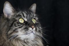attention (apg_lucky13) Tags: cats eyes green jdc jasdaco nikon cat d3300 feline fur kitties kitty whiskers missy catseyes greencatseyes california usa missythecat attention watch focused peering portrait catportrait nikon55300mmvr nikkor