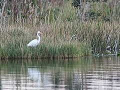 Great Egret 20161204 (Kenneth Cole Schneider) Tags: florida miramar westbrowardwca