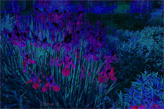 Iris Garden: Blue Variant (Tim Noonan) Tags: pink blue colour texture digital photoshop garden dark hue irises hypothetical variant vividimagination artdigital greenscene shockofthenew stickybeak sharingart awardtree maxfudgeawardandexcellencegroup exoticimage netartii vannoonan kreativepeople digitalartscenepro
