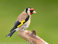 Goldfinch (Dec Roche) Tags: nature birds nikon wildlife goldfinch finches wexford gardenbirds nikon300mmf4 birdwatchfb