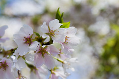 Cherry Blossoms (BJ McCardle) Tags: flowers trees canon cherry spring cherries bokeh blossoms april springtime blooming 60d