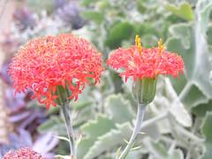 肉菊屬 Kleinia abyssinica [英格蘭 Wisley Gardens, England] (阿橋花譜 KHQ Flower Guide) Tags: asteraceae kleinia 菊科