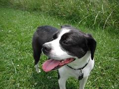 6-30-2013_30_Flowers,Dogs,Veges (dayhiker9312) Tags: dog beagle puppy bostonterrier boggle mansbestfriend bostonterrierdog beagledog bogglen boggledog bogglendog
