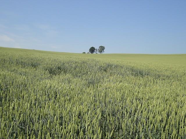 麦畑の向こうに見える3本の木は「親子の木」と呼ばれています。|