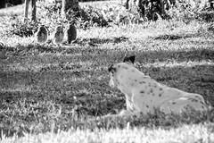 "O cão e as corujas-buraqueiras • <a style=""font-size:0.8em;"" href=""http://www.flickr.com/photos/39546249@N07/9233196197/"" target=""_blank"">View on Flickr</a>"