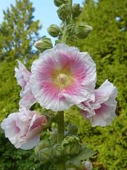 roses tremières juillet 2013 (ardoise08) Tags: ardennes argonne vouziers rosestremières