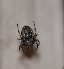 Garden spider (kaylo88) Tags: spider orb wed weaver