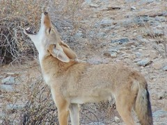This howling thing really works! (jwrieden) Tags: coyote arizona desert wildlife howl dailynaturetnc13