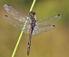 Male Black darter - Sympetrum danae (Roger H3) Tags: black insect dragonfly lincolnshire darter crowle odonata