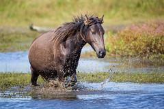 Working Her Way Through the Pond (jeff_a_goldberg) Tags: horse canada novascotia nationalgeographic wildhorse parkscanada loh sableisland feralhorse fishermansharbour sableislandhorse sableislandpony sableislandnationalparkreserve