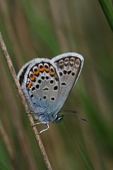 ngel azul rara (raggi di sole) Tags: blue england male nature grass butterfly insect lepidoptera perched heathland lycaenidae plebejusargus silverstuddedblue chobhamcommon