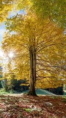 42/52 (OMD1961) Tags: autumn beach nature leaves zeiss austria vorarlberg gtzis distagont2821 millrtte 52week42
