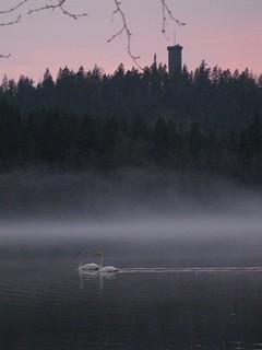 Joensuu Tuula, Joutsenet Aulangonjärvellä