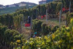 Vendemmia (Sergio Massano) Tags: wine luna piemonte vineyards vigne vino langhe filari vendmmia