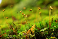 Moss Seeds (theblueraindrop) Tags: autumn green fall nature forest moss woods sweden seed seeds