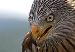 Red Kite (pe_ha45) Tags: raptor redkite milvusmilvus greifvogel milanroyal milanoreal rotmilan milhafrereal nibbioreale