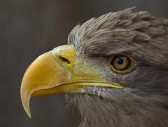 Sea Eagle - Seeadler (pe_ha45) Tags: seaeagle whitetailedeagle seeadler haliaeetusalbicilla pigargoeuropeo grandaigledemer águilamarina águiarabalva aiglebarbu