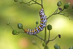 Raupe Brauner Mönch (planetvielfalt) Tags: deutschland lepidoptera sachsen noctuidae schmetterlinge cuculliinae dübenerheide hachemühle