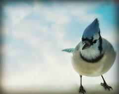 ~First snow!!~ (nushuz) Tags: bird vermont windy bluejay negativespace firstsnow vt brrrrrr beautifulbird 9degrees standinginthesnow takenthroughmywindow bestcapturesaoi inspiringcreativeminds winterarrivedearly coldwithfluffedupfeathers sunnywithblueskies