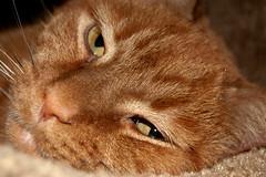 Max (tommaync) Tags: november pet max male oneaday animal cat nose nc eyes nikon feline northcarolina whiskers photoaday pictureaday chathamcounty d40 project365 2013 project365323 gününeniyisithebestofday project365112413