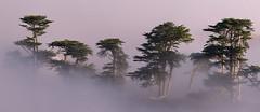 Cypress Grove (markvcr) Tags: california trees mist fog cypress pointreyes coth5 sunrays5