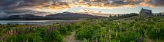 Lake Tekapo, New Zealand (Tom Beesley) Tags: newzealand panorama lake church clouds sunrise nikon bravo panoramic laketekapo churchofthegoodshepherd lupins lightroom ptgui cs6 sigma175028 novaflex flickr12days