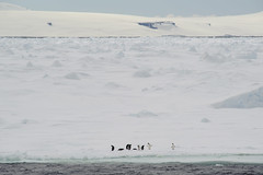 20131202_144746_Antarctica_D700_9016.jpg (Reeve Jolliffe) Tags: world cold ice nikon antarctica 300mm environment icy nikkor southernocean continent antarctic ecosystem ffl southernhemisphere primelens antarcticpeninsula greatsouthernocean fixedfocallength expeditioncruise d700 polarclimate antarcticcircle adventurecruise smallshipcruise 300mmf4nonafs australocean