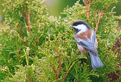 Chestnut-backed Chickadee (Peter Bangayan) Tags: nature birds canon wildlife 7d smallbirds ef300mmf4lisusm