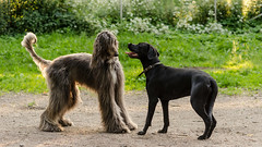 DSC_6788.jpg (markiisi) Tags: frank labrador retriever sighthound borzoi afghanhound galgo