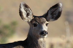 Mule Deer Doe (fethers1) Tags: deer redrocks muledeer coloradowildlife