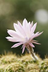 in bloom iii (Seakayem) Tags: pink cactus flower bokeh sony canberra pentacon f28 slt 135mm a55 bokehmonster