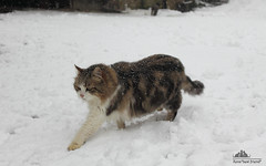 Boss Walking Calmly In The Snow     (Xena*best friend*) Tags: wood boss winter wild italy pet cats pets snow cute animals fur photography chats furry woods feline flickr shots tiger kitty kittens whiskers piemonte gato calico purr meow paws miao gatto katzen pussycat markings miau feral wildanimals allrightsreserved alleycatallies piedmontitaly canonef70300mm catsinthesnow canoneos500d eosrebelt1i