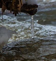 Icicle (ramseybuckeye) Tags: life park county winter ohio usa snow art ice water creek woods stream allen pentax district johnny kendrick appleseed metropark k30