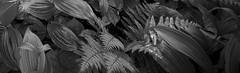 Sentier de la riv.du Cap-Rouge (rue Auclair) (Réal Filion) Tags: plant forest plante vegetable forêt végétal