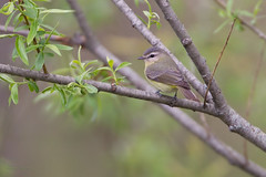 _53F1779 Philadelphia Vireo (~ Michaela Sagatova ~) Tags: spring dundas birdphotography vireophiladelphicus dvca philadelphiawarbler michaelasagatova