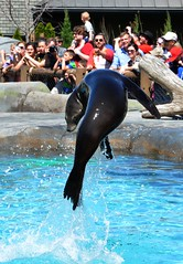 That Look! (Adventurer Dustin Holmes) Tags: animal animals zoo tricks flip sealions trick stlouiszoo sealion flips zoos 2014 sealionshow sealionsshow