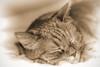 Plush (gtncats) Tags: pet cat tabby orangetabby catnapping greatphotographers topazlabs felinefaces photographyforrecreation infinitexposure