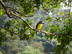 Ben-te-vi (Victor Hugo Pinheiro) Tags: brazil brasil natureza pássaro ave beleza bentivi