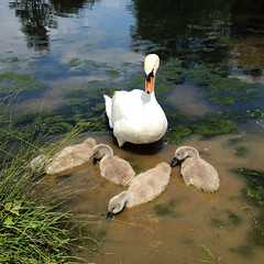 Riverbank (justingreen19) Tags: cameraphone england apple nature water sunshine river square suffolk spring swan pond stream riverside weekend wildlife feather swans croft sudbury riverbank signet 5c signets iphone thecroft babyswan riverstour appleiphone justingreen19 justingreenphotography sudburycroft