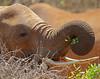 Fine dining! (Rainbirder) Tags: kenya samburu loxodontaafricana africanbushelephant rainbirder