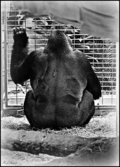 A pedestal is as much a prison as any small, confined space -- Gloria Steinem (BurstsofSingleMindedness) Tags: bw zoo washingtondc sad gorilla cage prison nationalzoo apes animalsinbw
