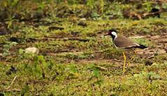 Red wattled Lapwing |     | Bandipur Tiger Reserve | Karnataka | 2014 (Amudha Hariharan) Tags: birds lapwing karnataka 70300mm birdwatching redwattledlapwing bandipurtigerreserve bandipurnationalpark canon60d amudhahariharan raaaphotography