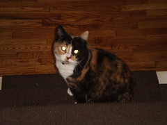 Autumn (universalcatfanatic) Tags: wood autumn light orange cats brown white black eye stairs cat reflecting wooden eyes stair sitting glow floor bottom steps hard tortoiseshell case step staircase sit calico glowing tortie hardwood